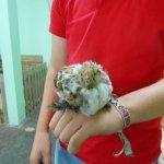 Bantum Chick