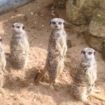 Those funny meerkats at Mablethorpe Seal Sanctuary