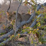 The Lion climb up in this fallen tree and sat for a min. She only got done when she wanted too