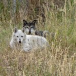 These are not you household pets, but wolves