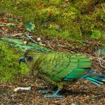 Kea birds outside the room