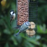 Coal Tit & Blue tit on feeders