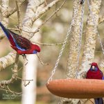 Rosellas at the bird-feeder outside the cottage.