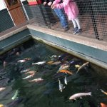 Koi feeding pond, old Victorian bath!