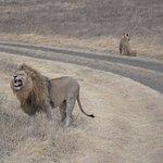 Waking up lion