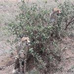Cheeta's couple