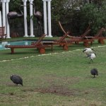 Sacred Ibis and Guinea Fowl in the garden