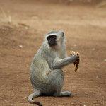Nuaghty Vervet monkey stole from our next door neighbours!