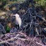 Great Blue Heron on downed tree in river