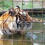 Priya the tiger