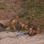 Baboons playing!