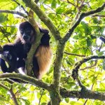 A howler monkey watching us hike