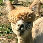 One of the many cheeky alpacas!
