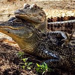 Over 101 Live Alligators to feed and see!