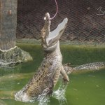 Feeding the gators is fun for al ages!  $3 for a bag of Gator Bait!