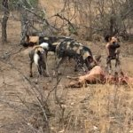 Wild Dog on a Kill