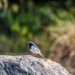 A White Browed Wagtail, beside Cauvery River