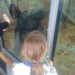 Viewing the oldest chimp on site