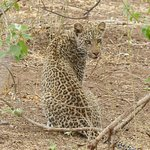 Beautiful Leopard cub