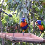 Rainbow Lorikeets off Osprey