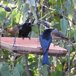 Spangled Drongos & Noisy Friar Bird sharing