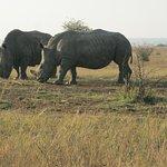 Rhinos in a breeding program