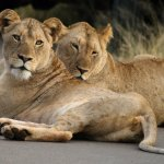 Lionesses in the road