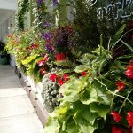 Always lovely window boxes!