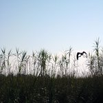 Heron taking flight over the reeds after flying along beside our boat.