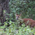 Barking Deer on the way to K.Gudi forest range