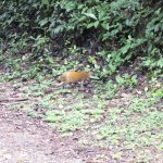 agoutis seen wandering along and across the paths throughout the reserve