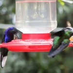 humming birds feeding on the feeders in the humming bitd gardens just outside the reserve