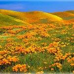 Antelope Valley Poppy Reserve in California, USA