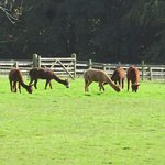 Alpacas grassing (they're also for sale!)