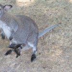 un kangourou et son bébé