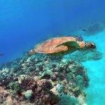 Our favorite local Hawaiian Sea Turtle!