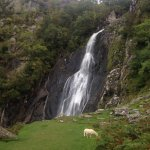Aber Falls with a sheep