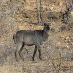 Wildlife - Waterbuck