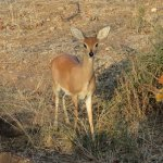 Wildlife - Steenbok