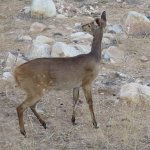 Wildlife - Bushbuck