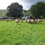 Sheep at Mosedale End Farm B&B and Glamping Pod