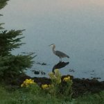 Heron fishing outside our room