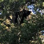 Black Bear sleeping in a tree, we were on horseback