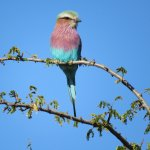 Lilac Breasted Roller at Tinga