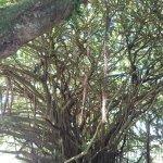 巨樹に登れます
