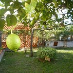 Lime tree in courtyard