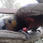 The friendly Kaka who sit on your head if you let them!