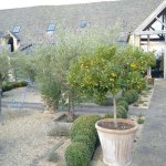 olive trees grove in the garden
