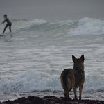 The surfing opportunities are endless! This dog faithfully waited for his owner to finish surfin