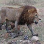 Male lion walking proud